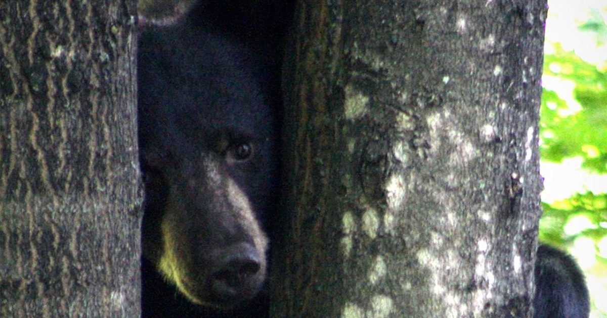 Bandit Responsible for Vehicle Break-Ins is a Black Bear - snopes