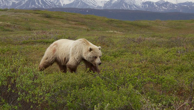 A woman cyclist camping in northwestern Montana was pulled from her tent and killed by a grizzly bear.