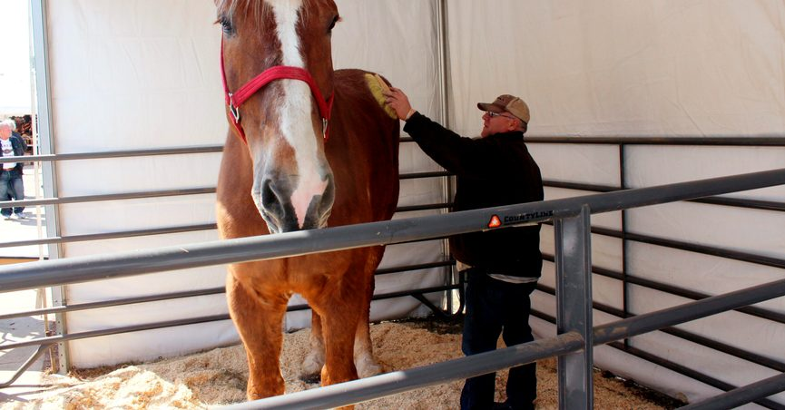 """THIS CORRECTS THAT BIG JAKE WAS CERTIFIED AS THE TALLEST HORSE IN 2010, NOT 2020 AS ORIGINALLY SENT - FILE - Jerry Gilbert brushes Big Jake at the Midwest Horse Fair in Madison, Wisc., in this Friday, April 11, 2014, file photo. The world's tallest horse has died in Wisconsin. WMTV reported Monday, July 5, 2021, that the 20-year-old Belgian named """"Big Jake"""" died several weeks ago. Big Jake lived on Smokey Hollow Farm in Poynette. Big Jake was 6-foot-10 and weighed 2,500 pounds. The Guinness Book of World Records certified him as the world's tallest living horse in 2010. The farm's owner, Jerry Gilbert, says Big Jake was a """"superstar"""" and a """"truly magnificent animal."""" (AP Photo/Carrie Antlfinger, File)"""