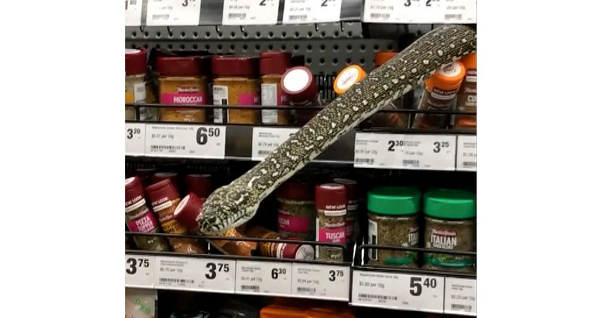 In this image made from video provided by Helaina Alati, a snake protrudes from grocery store spices shelf, Monday, Aug. 16 2021, in Sydney, Australia. Alati was browsing the spice aisle of an Australian supermarket when she came face-to-face with a huge snake. The head of the 3-meter-long (10-foot-long) non-venomous diamond python emerged through a space in a shelf above the spice jars in the Sydney store. (Helaina Alati via AP)