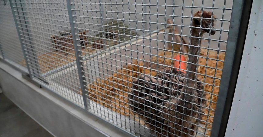 A young ostrich bird stands in a cage in an animal shelter in Krefeld, Germany, Saturday, Sept.11, 2021. At the city forest in Krefeld, two passers-by had discovered and captured a free-ranging baby ostrich on Friday evening. The young animal spent the night in the care of the Krefeld hunting commissioner. In the morning the ostrich was taken to its temporary new home at the animal shelter. (Alexander Forstreuter/dpa via AP)