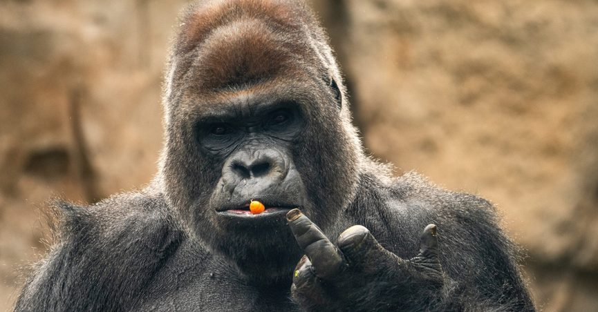 gorilla with carrot