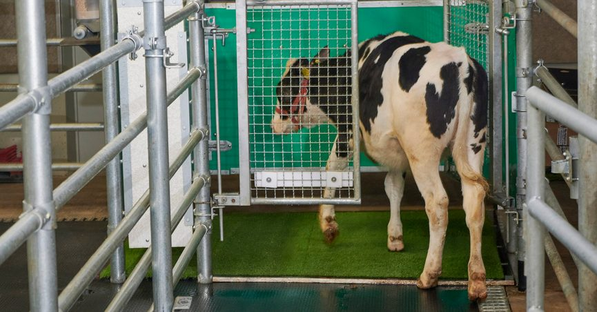 """In this undated photo provided by the Research Institute for Farm Animal Biology in Dummerstorf, Germany in September 2021, a calf enters an astroturf-covered pen nicknamed """"MooLoo"""" to urinate. The scientists, mimicking the process of putting a toddler on the potty until he or she has to go, put the cows in and waited until they urinated and then gave them a reward: a super sweet liquid of mostly molasses. (Thomas Häntzschel/FBN via AP)"""