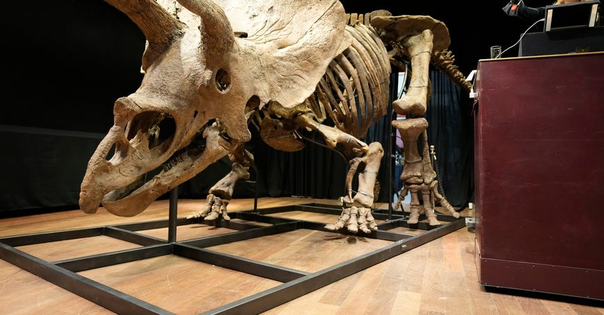 """Auction officer Violette Stcherbatcheff gestures next to the world's biggest triceratops skeleton, known as """"Big John,"""" during its auction Thursday, Oct. 21, 2021 in Paris. The enormous skeleton, estimated to be over 66 million years old, was found in 2014 in South Dakota and was sold for 6.6 million euros ($7.7 million) Thursday Oct.21, 2021 at a Paris auction house. (AP Photo/Francois Mori)"""