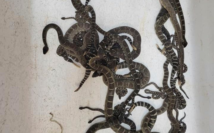 This Oct. 2, 2021 shows a group of venomous Northern Pacific rattlesnakes which were extracted from a under a home in Santa Rosa, Calif. Al Wolf is used to clearing one or two snakes from under houses but recently was called by a woman who said she had seen rattlesnakes scurry under her Northern California house and was surprised to find more than 90 rattlesnakes getting ready to hibernate. (Sonoma County Reptile Rescue via AP)