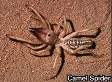 Camel Spider Fangs