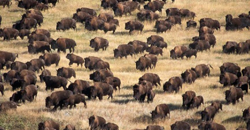 standing rock protesters report wild buffalo sighting